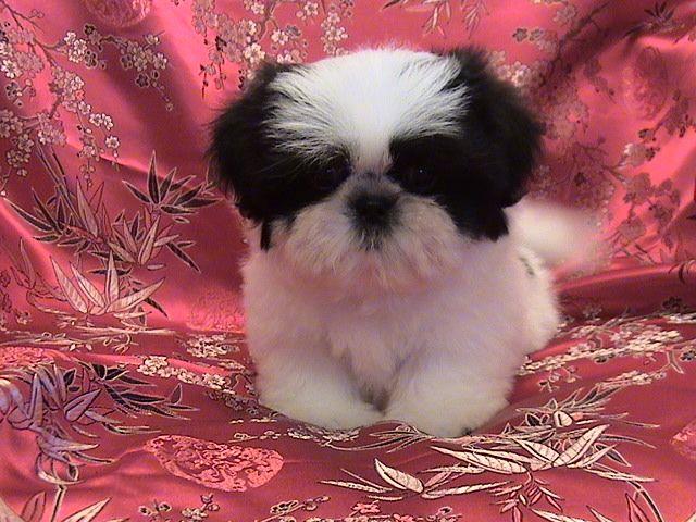 Shih-Tzu Puppy by ~siamesebread on deviantART