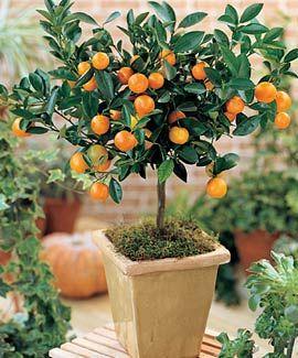 Calamondin Orange Plants Patio Plants Citrus Trees