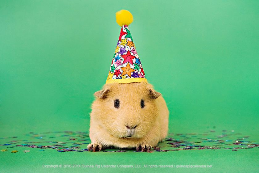 Pin On Guinea Pig In Party Hat
