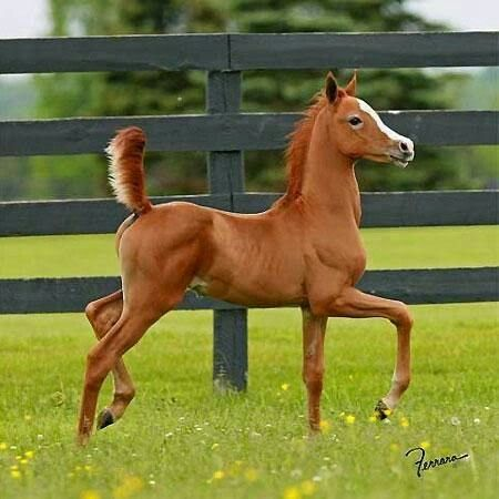Little Arabian Colt
