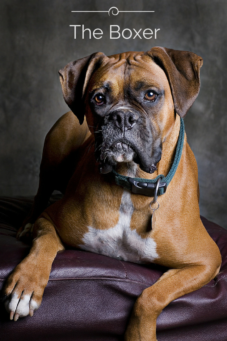 The Boxer dog originated around the 18th century and was used for fighting and bull baiting. More recently, however, the Boxer has become a popular choice as a family pet or police and military dog...but it loves to play with children! To learn more about this versatile dog, click here! #BoxerDog