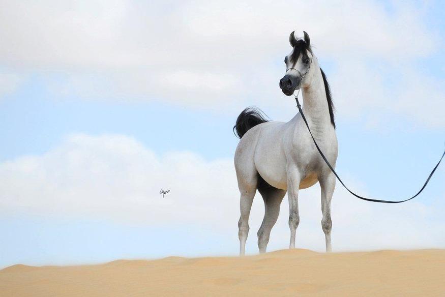 Arabian stallion D Myas