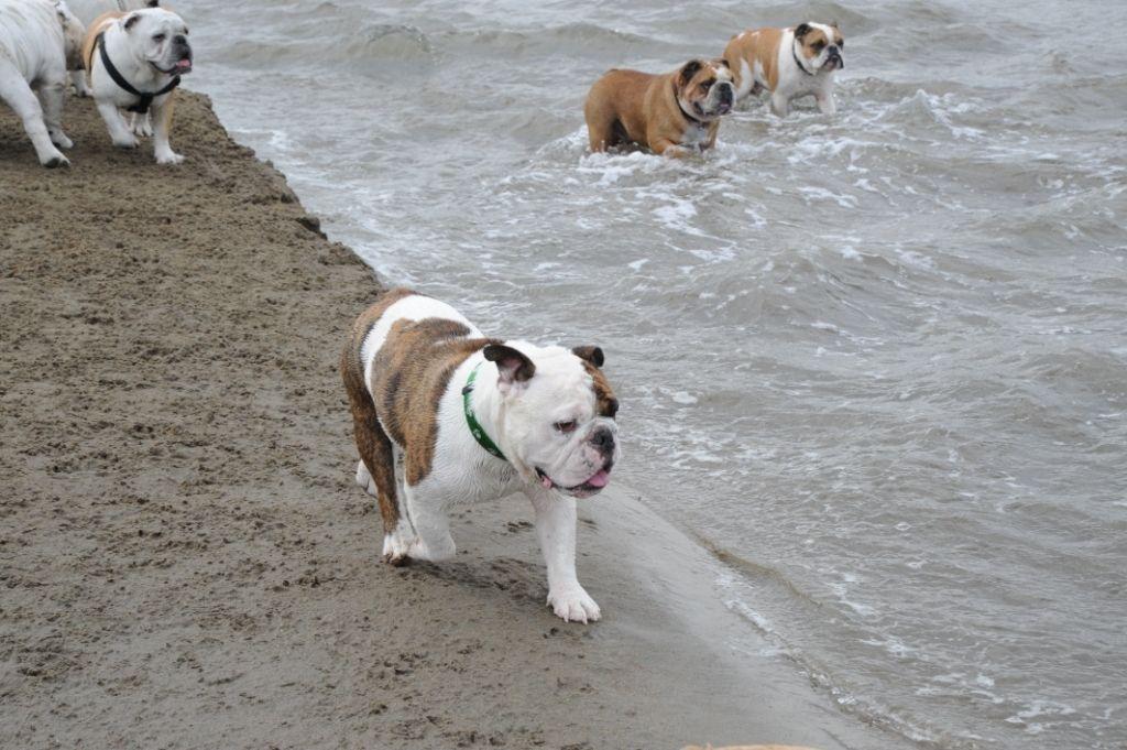 Photos The San Francisco English Bulldog Meetup Group