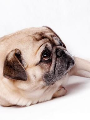 Pug Care Mood Boosting Foods Pugs Health