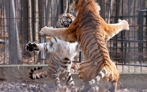 A pair of tigers square up to each other