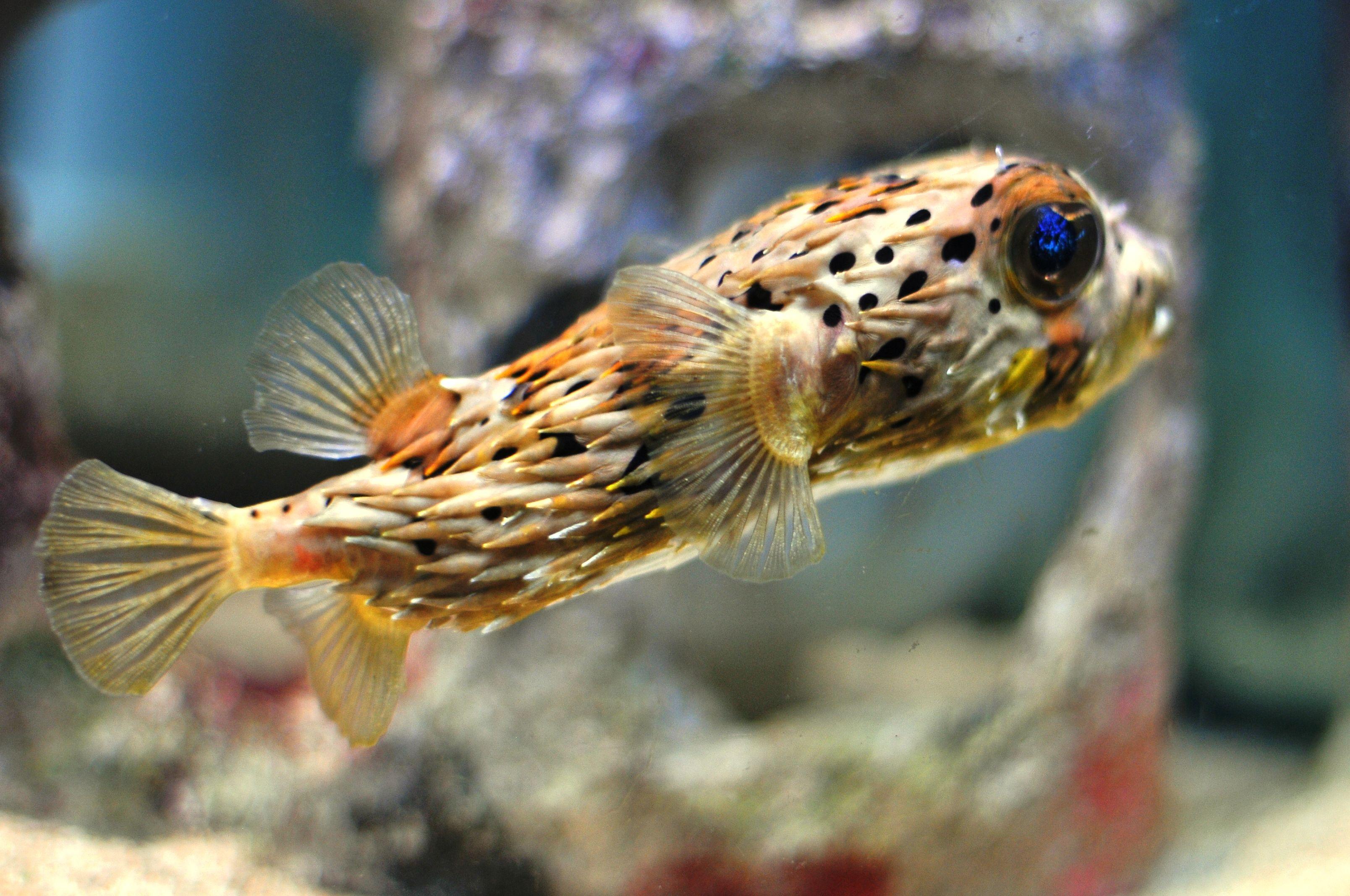 Porcupine Puffer Fish | Puffer fish, Aquarium fish ...
