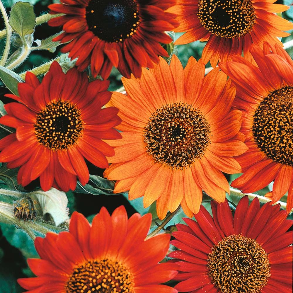 Helianthus Annuus Earthwalker Flower Seeds Red Sunflowers Annual Plants
