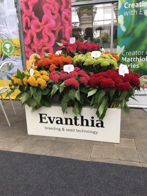 Evanthia Seeds&Plants FlowerTrials 2017   Celosia Cristata Act series