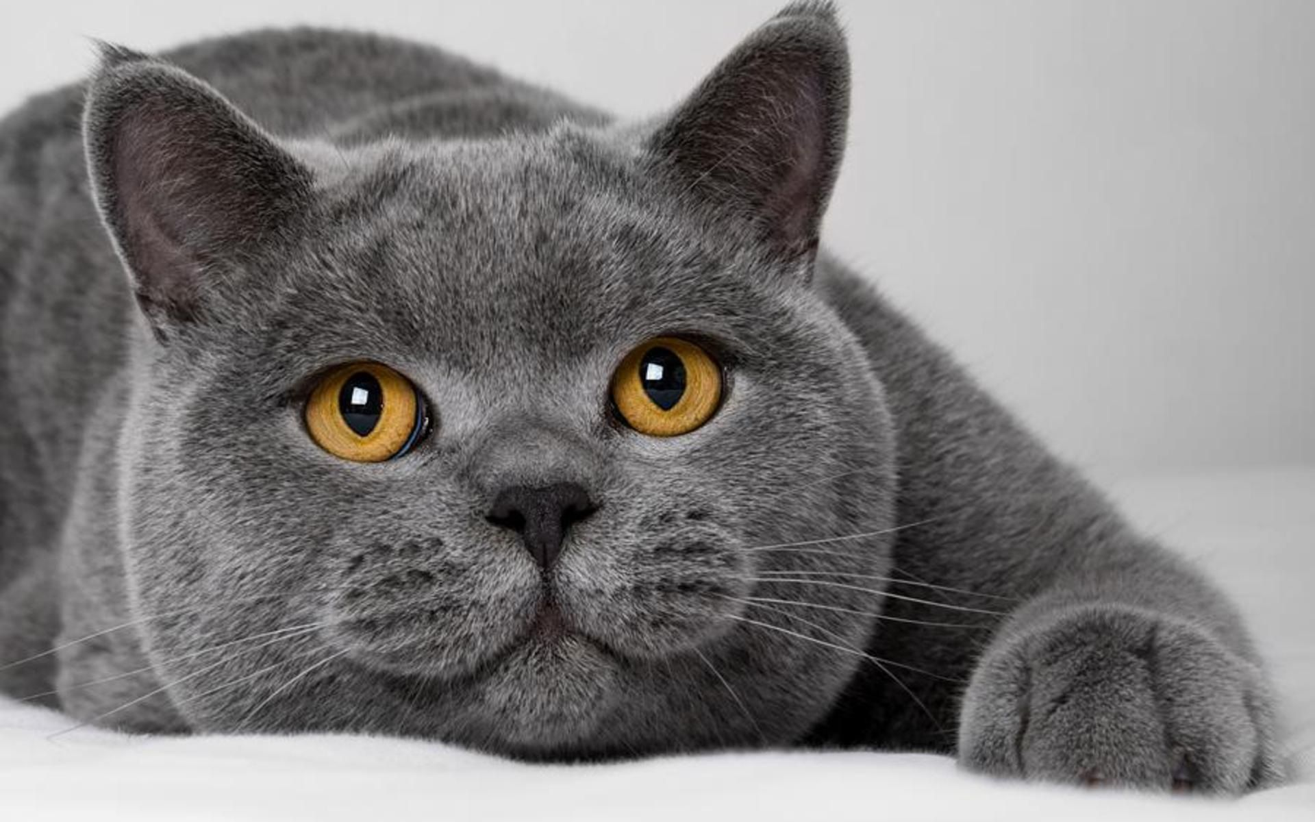 British Blue cat I have always wanted one of these they are what
