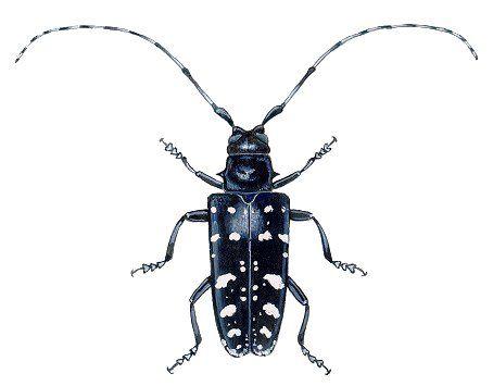 asian longhorn beetle
