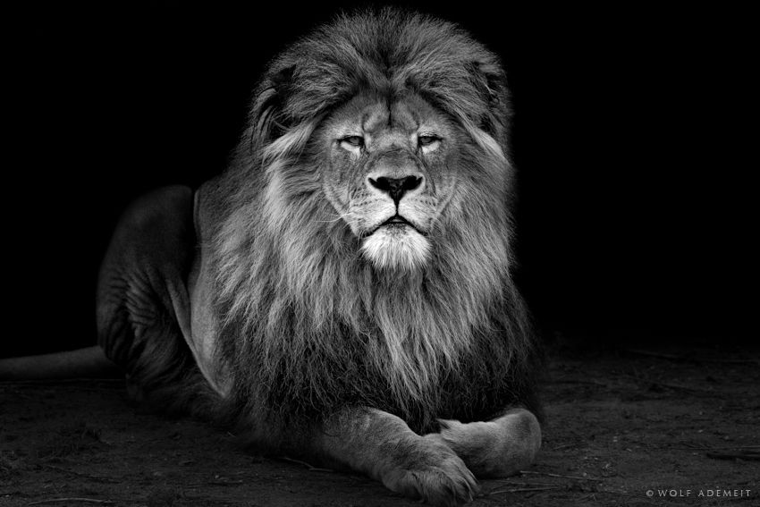 """""""OLD LION"""" by Wolf Ademeit, via 500px."""