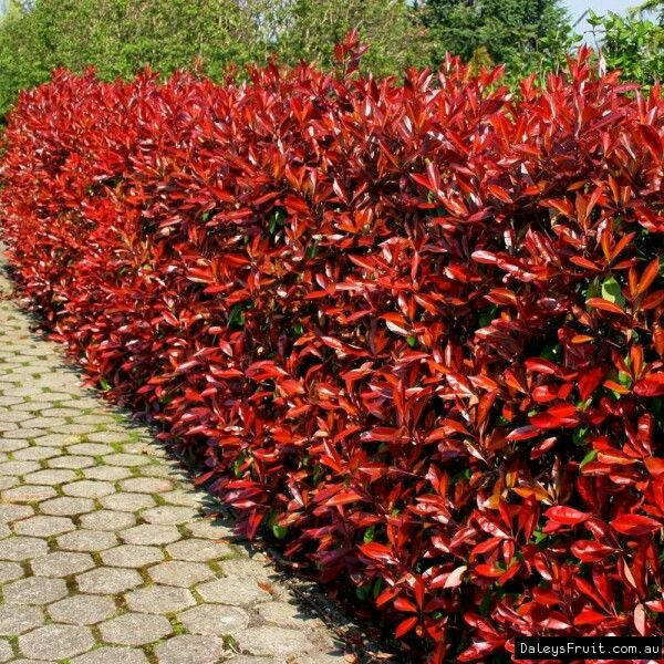 Photinia Frasieri Red Robin Fast Growing Evergreen Shrub With A Dense Habit That Responds Well To Pruning Hedging Plants Photinia Red Robin Garden Shrubs