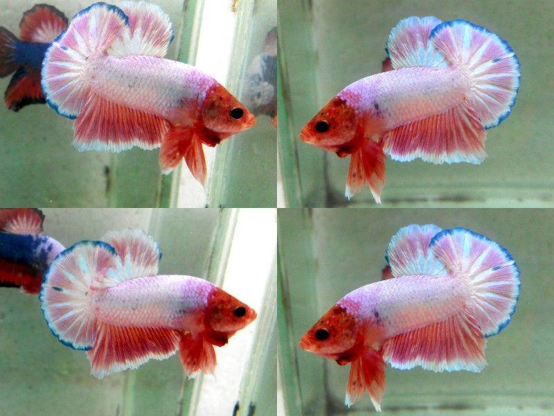 Item Fwbettashmp1444737002 Male Pink With Orange Head Hmpk