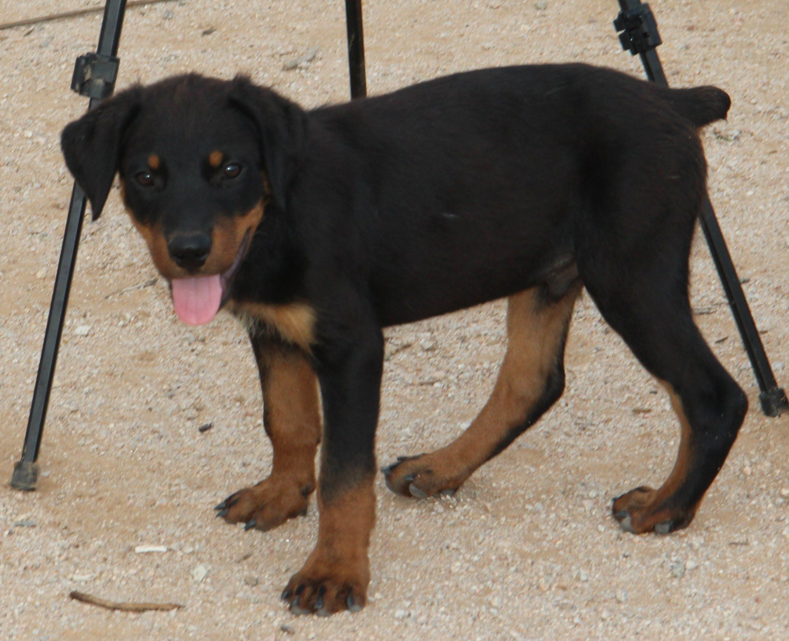 Rottweiler Puppy in Training (FOR SALE) Rottweiler