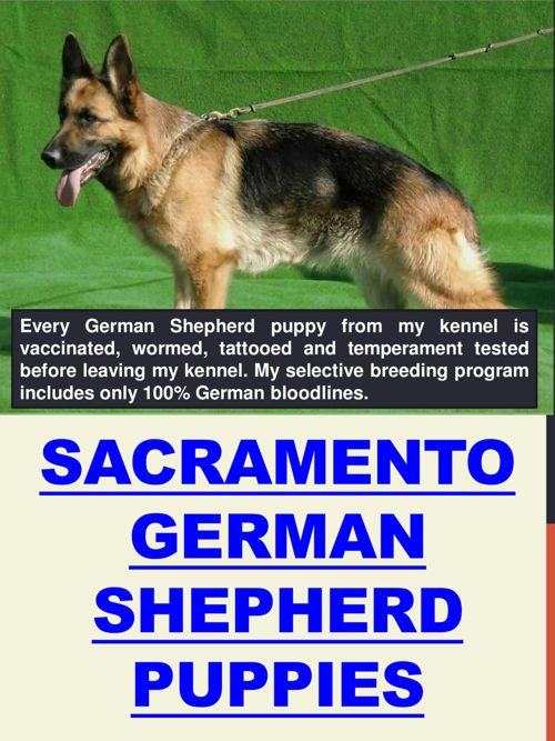 Sacramento German Shepherd Puppies German Shepherd Puppies Dog