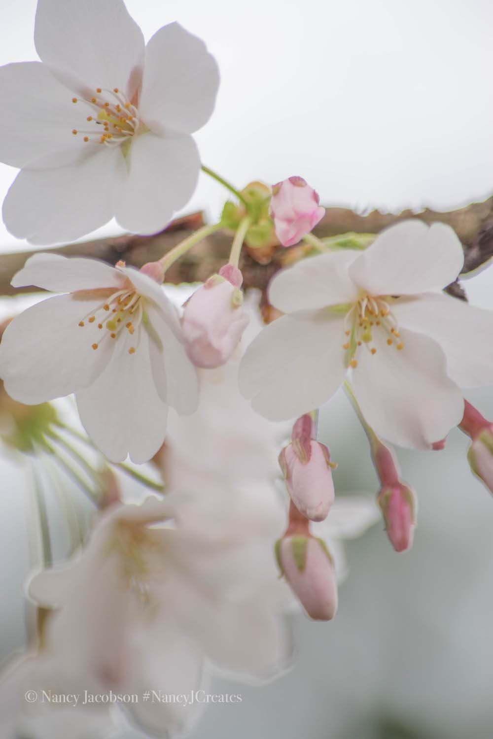 Pale Pink Cherry Blossom Photo Flowering Cherry Tree Spring Etsy Pretty Flowers Photography Spring Wall Art Flowering Cherry Tree
