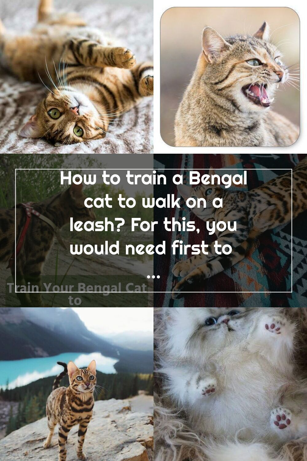 How to train a Bengal cat to walk on a leash? For this