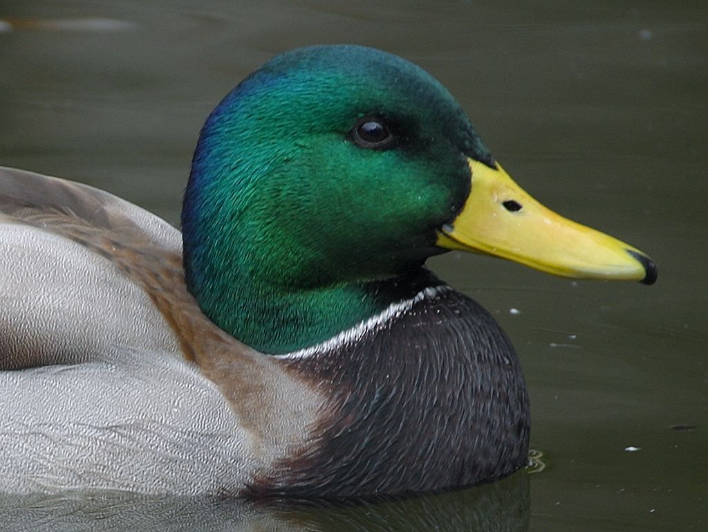 Copyright Free Animal Images Free Stock Photo In High Resolution Duck Animals Duck Pictures Mallard Duck Duck Bill