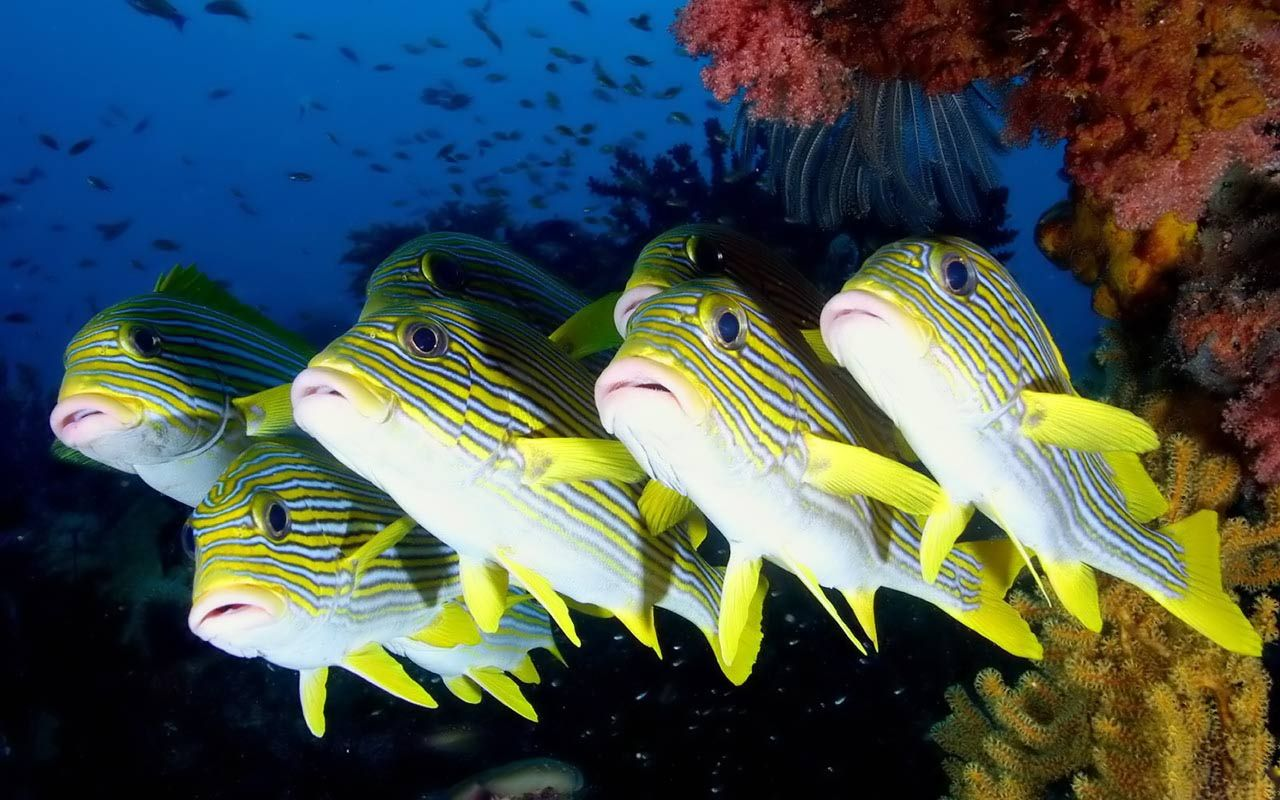 Desktop Wallpapers > Animals > Striped sweetlips Coral reef fish
