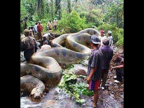 World Biggest Snake Anaconda Found In America S Amazon River World Biggest Snake Big Animals Animals