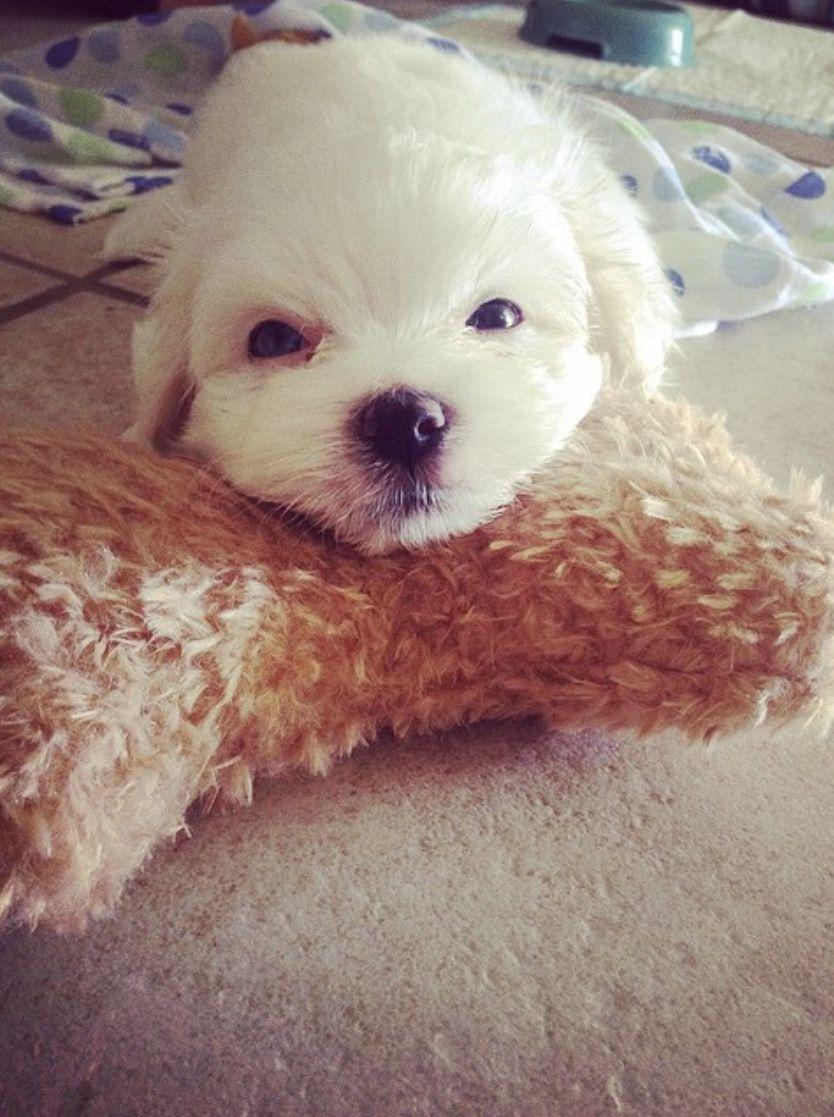 Dog Puppy Toosmallforhistoy Maltesepuppy Maltese Cute Animals Animals Maltese Puppy