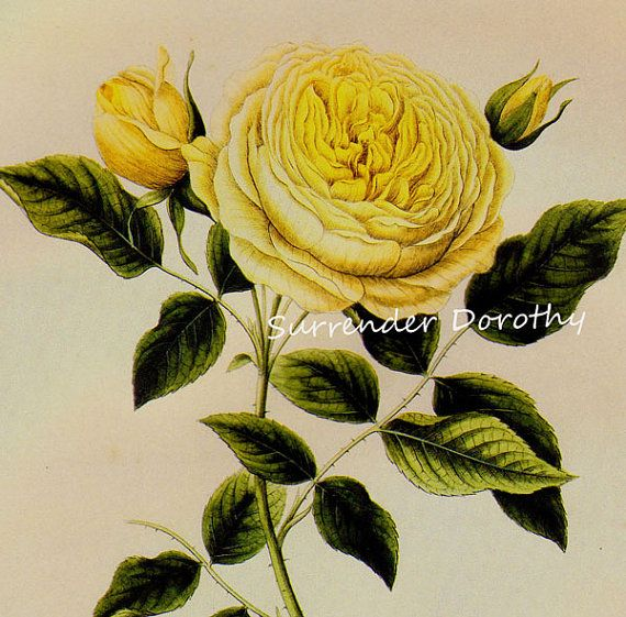Yellow Augusta Rose Prestele Vintage Poster Print Botanical Lithograph To Frame