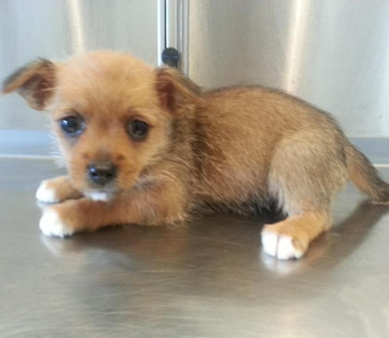 Adopt Faith On Dog Breeds Pictures Yorkie Dogs Yorkie Puppy