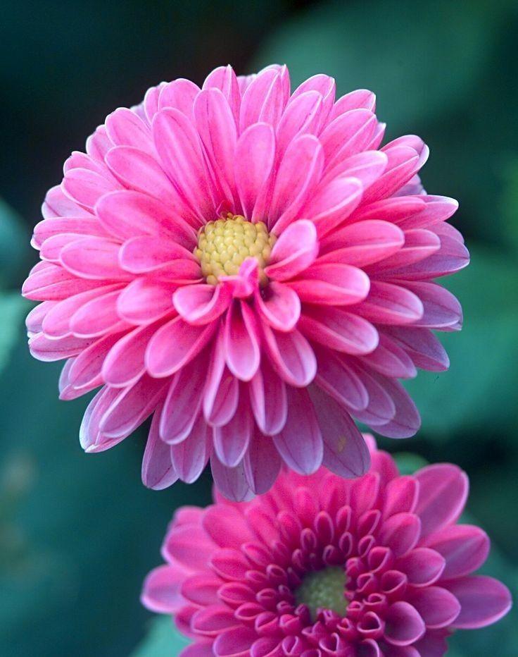 Pin By Ana Cristina Pimenta On Roses Beautiful Flowers Amazing Flowers Dahlia Flower