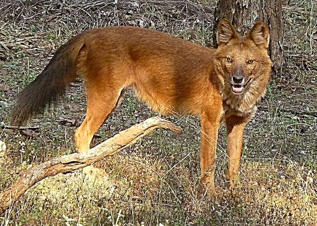 ذئب احمر الثدييات Animals Kangaroo Wolf