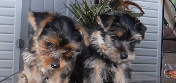 Puppies 033 Edited Jpg Yorkie Breeders Yorkie Puppies