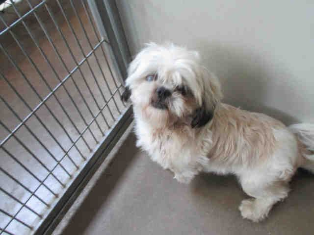 My Name Is Mortimer I Am A Male White And Tan Shih Tzu The