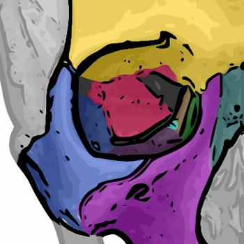 orbital bones - sphenoid bone - wikipedia, the free encyclopedia, Sphenoid