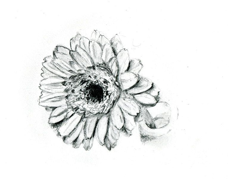 Original Pencil Drawing Of A Gerbera Daisy With Images Pencil