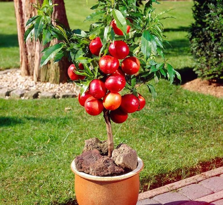 How To Grow Peaches And Nectarines In A Pot Dwarf Fruit Trees Fruit Plants Container Gardening Fruit