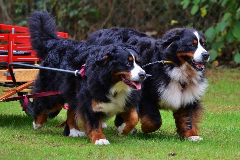 Pin on Bernese Mountain Dogs