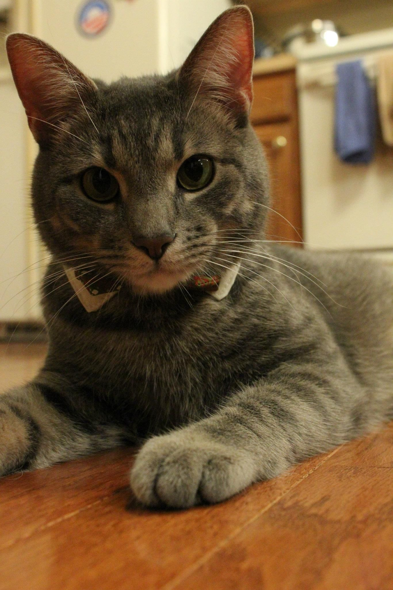 I Think My Two Little Men Need Bow Ties Because Bow Ties Are Cool Persian Cat Cats Cat Haircut