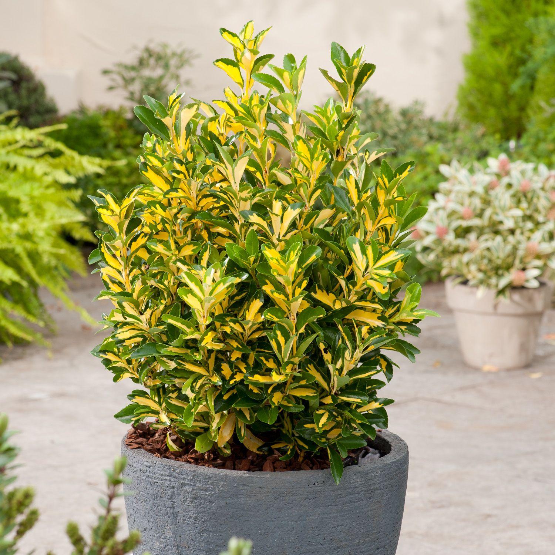 Euonymus japonicus Aureus Japanese Spindle Dobbies Garden