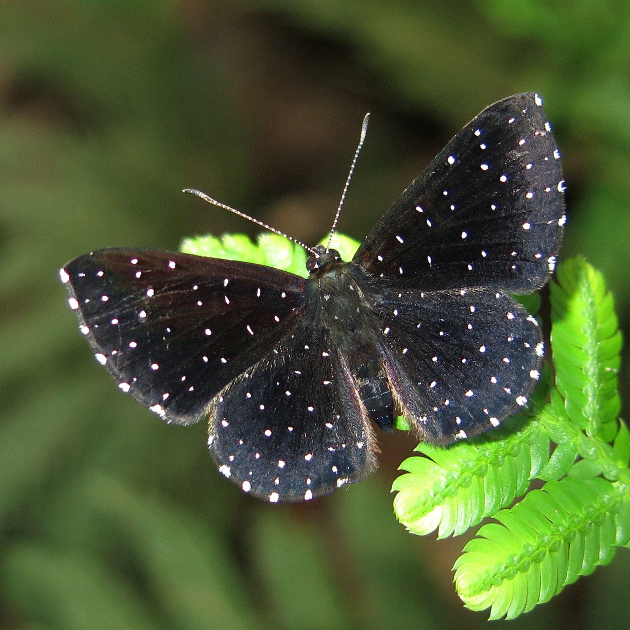 https://flic.kr/p/qBZXaY | Echydna punctata - Starry Metalmark | A common forest species in Ecuador, but still well worth photographing.