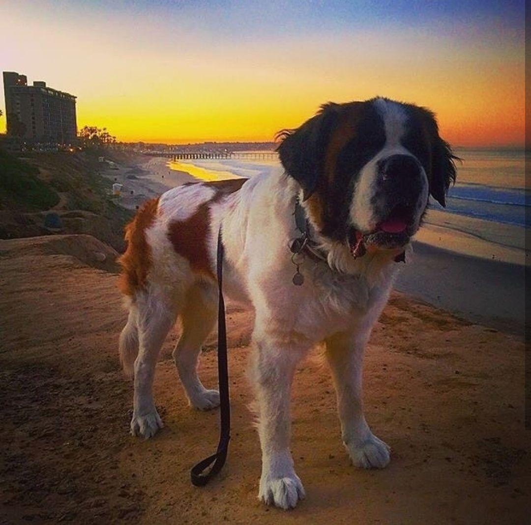 Pin de Grazi Cullen Winchester Haris em Dog São Bernardo