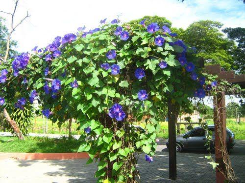 Tipos de trepadeiras plantas que enfeitam cercas e muros - Tipos de muros ...