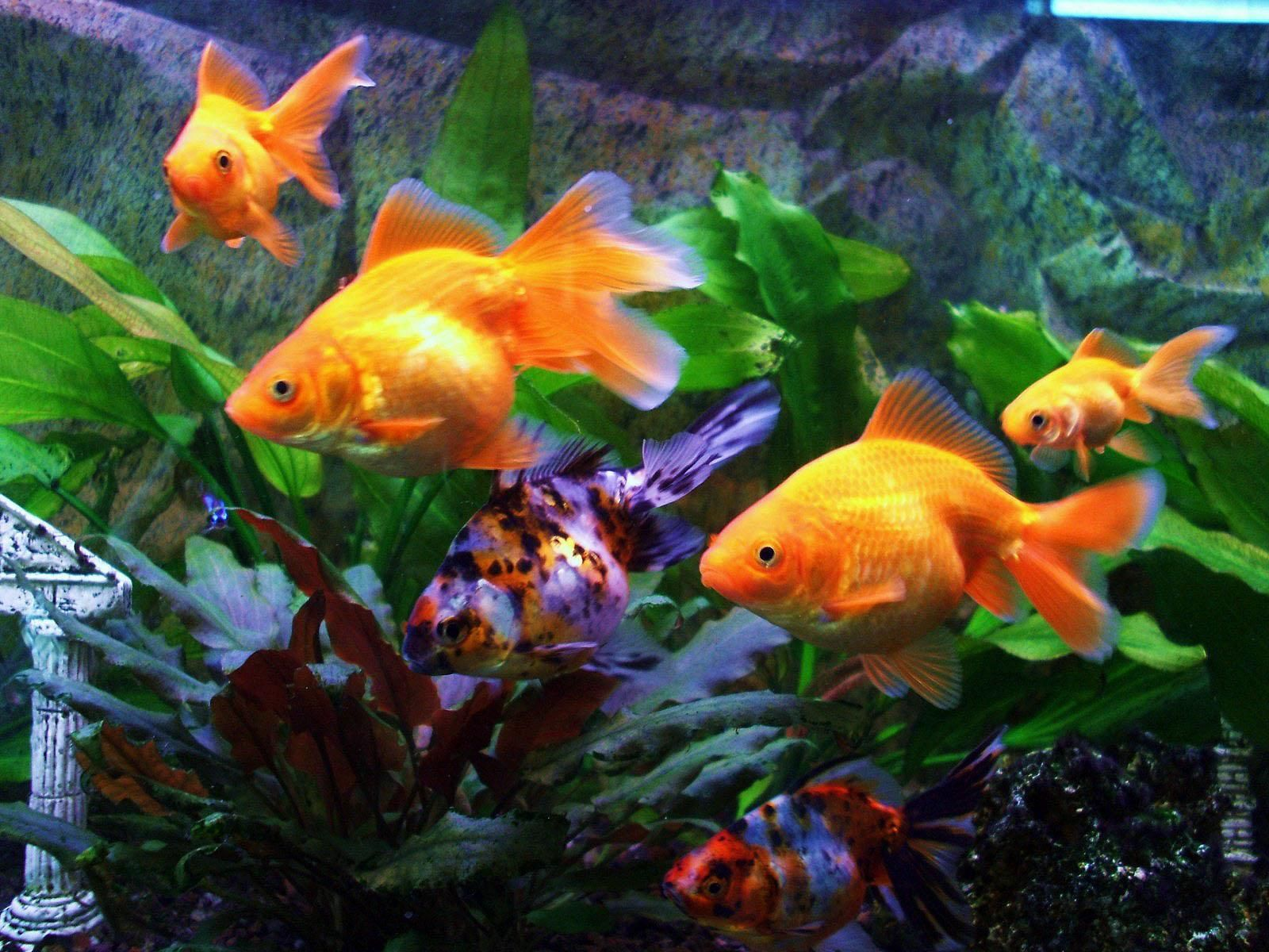 Freshwater Fish Wallpaper Google Search Fish Wallpaper Goldfish Fish
