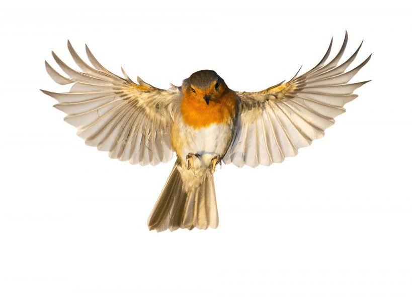 Les oiseaux de nos jardins comme vous ne les avez jamais for Oiseaux de nos jardins