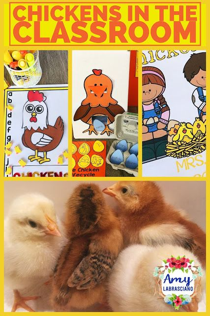 Click here to learn all about how use chickens to teach reading and science in the classroom.  These fun ideas work for any primary or intermediate elementary classroom.  Your kindergarten, first, second, third, fourth or fifth grade students will the love learning about the chicken lifecycle, chicken care, and baby chicks. {kindergarten, first, second, third, fourth, fifth grade, homeschool}