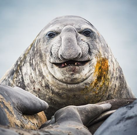 Nature Photographer Portrait Of An Elephant Seal Image