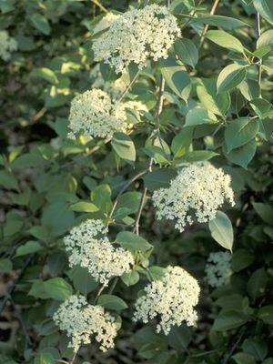 A shrub or small tree that flowers in late spring with round topped a shrub or small tree that flowers in late spring with round topped clusters of mightylinksfo