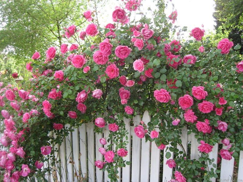 Parade Rose Photo สวนดอกไม ก หลาบ