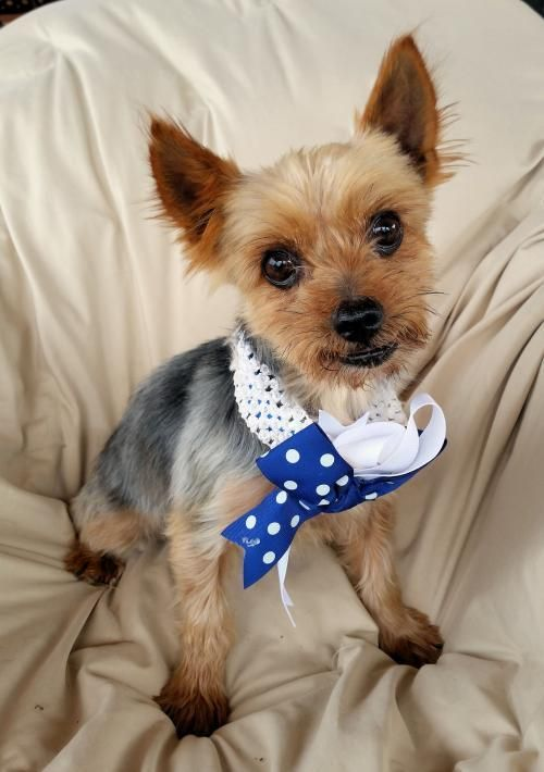 Cosmo, Yorkshire Terrier boy looking for a forever family