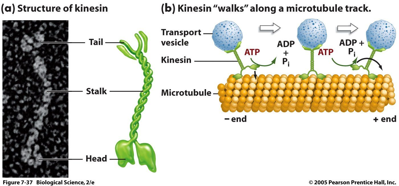 structure and function of large biological Proteins carry out specific functions inside cells, and they act as enzymes to catalyze reactions all over the body amylase, lactase and pepsin are all proteins used in digestion, for example proteins are typically large molecules that can be built up from chains of amino acids called polypeptides.