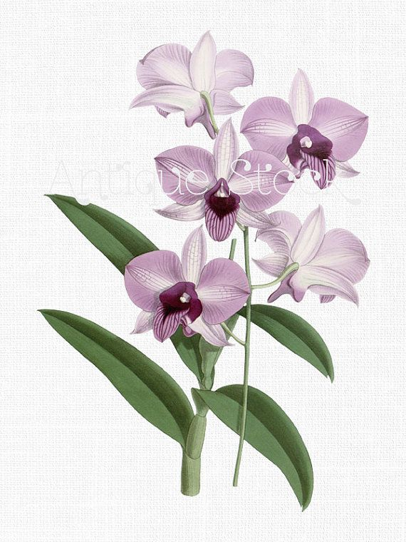 Orchid Flowers Clip Art Lilac Dendrobium Botanical Etsy Flower Prints Art Botanical Art Botanical Illustration