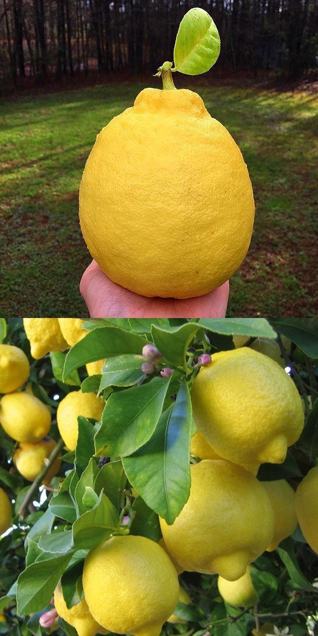 Other Seeds Bulbs Home Garden 30pcs Citrus Lemon Tree Seeds Fruit Bonsai Tree Lemon Seeds Flower Pots Planters Topografiapv Cl